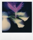 As a phoenix;  'Polaroid is back'.